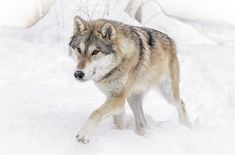 Wolf In The Winter Snow by Athena Mckinzie  http://fineartamerica.com/featured/wolf-in-the-winter-snow-athena-mckinzie.html