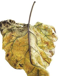 Leaf 100820151542, Yellow Catalpa (Catalpa bignonioides), 76 x 56cm, Watercolour on Paper