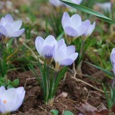 Crocus 'Blue pearl' (botanique) (lot de 25)
