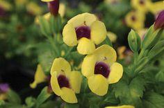 Catalina® Gilded Grape™ - Wishbone Flower - Torenia hybrid