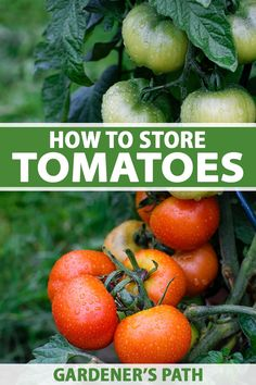 Do you have a surplus of green and ripe tomatoes? Extend the enjoyment of your harvest with the right storage techniques. You can ripen some indoors to enjoy fresh, or use long-term preservation methods for bumper crops. Learn how to store your homegrown tomatoes now on Gardener's Path. #tomato #harvest #gardenerspath