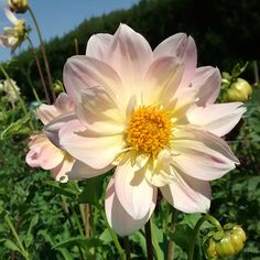 Pink and Yellow Small Open Decorative Dahlia, Yellow, Flowers, Plants, Pink, Decor, Flower, Decoration, Plant