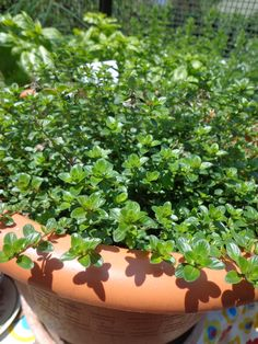 SCIRPUS CERNUUS from Secret Garden Growers | Secret Garden Raves ...