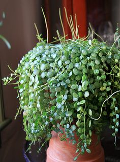 Peperomia Plant for Sale: Creeping Peperomia (Peperomia prostrata) Succulents Garden, Garden Plants, Planting Flowers, Inside Plants, Cool Plants, House Plants Decor, Plant Decor, Peperomia Plant, Plants Are Friends