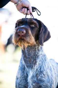 Wirehair pointing griffon