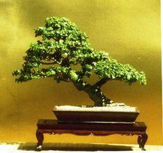 Portulacaria afra is easy to develop as a jade bonsai, much easier than the larger leaf jade-Crassula argentea. Bonsai Tree Care, Bonsai Art, Bonsai Plants, Bonsai Garden, Cactus Plants, Jade Bonsai, Succulent Bonsai, Succulents Garden, Succulent Wall