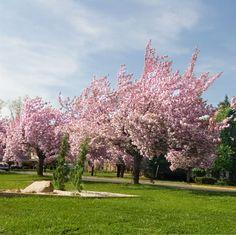 L06 Cherry trees