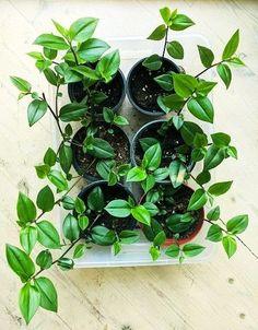 Husvandrer Spinach, Vegetables, Plants, Food, Essen, Vegetable Recipes, Meals, Plant, Yemek