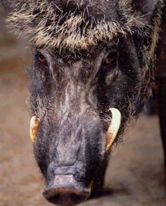 Hog Hunting articles and advice to read and maybe learn some new tricks of the trade, always new stuff to learn from other hunters.