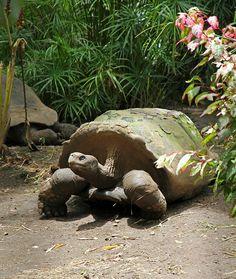 tahiti - galapagos tortoise in the botanical gardens.