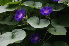 Morning glories~this image gives an illusion of morning glories like lily pads on water
