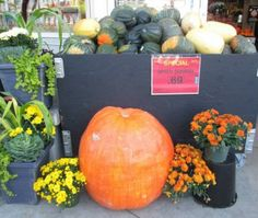 ♫  Thanksgiving Blessing ♪ (9 pieces) Thanksgiving Blessings, Irish Eyes Are Smiling, Blessed, Pumpkin, Buttercup Squash, Pumpkins, Squash