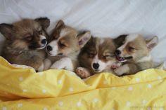 Sleeping babies!! #corgi