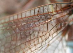 A close up view of the dragonfly's wing