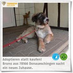 Liebenswerter Opa Bruno wartet im Tierheim Donaueschingen.  http://www.tierheimhelden.de/hund/tierheim-donaueschingen/owtscharka_mix/bruno/7460-0/  Bruno ist fidel wie ein Jungspund, hat aber einige Wehwehchen: für seine Schilddrüsenunterfunktion bekommt er Medikamente. Laut Tierarzt könnte Bruno mit seiner Hüfte und dem Rücken gar nicht laufen, doch das interessiert den Herren wenig und er freut sich über jeden Pfleger. Der Rüde mag seine Damen sehr gerne, andere Rüden eher nicht. Für Bruno