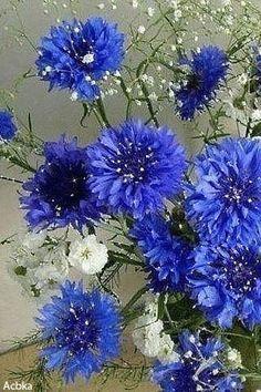 Estonia's national flower - Cornflower--Just love this flower Amazing Flowers, Blue Flowers, Wild Flowers, Beautiful Flowers, My Flower, Flower Art, Flower Power, Corn Flower, Flower Tutorial