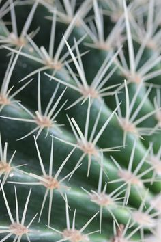 Golden barrel cactus, echinocactus grusonii. Close up of prickly spines on a #golden #barrel #cactus