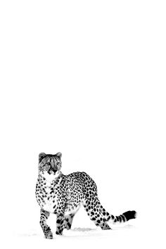 Cheetah, in black and white.