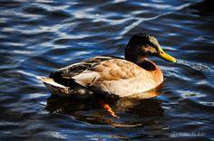 Duckie at Back Lake, NH