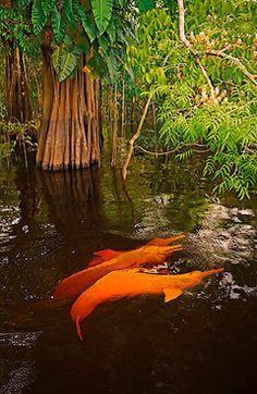 Amazon river dolphins~~~ whoa