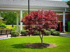 Buy Bloodgood Japanese Maple Online. Arrive Alive Guarantee. Free Shipping On All Orders Over $99. Immediate Delivery.