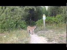 Intense face to face encounter with man and mountain lion! Check us out at www.deepbushsurvival.com And on Facebook at https://www.facebook.com/DeepBushSurvi...