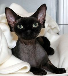 Black Devon Rex, my fave for my friend Tiff she wants this type of kitty