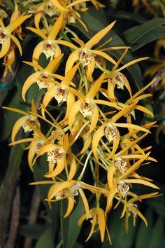 Dendrobium 'Star of Riverdene' -  by Eric Hunt.