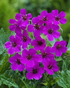 geranium patricia - Google Search