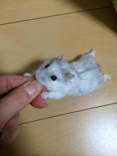 Hamsters cute baby animals, cute funny animals, animals and pets, my animal, Baby Animals Pictures, Cute Animal Photos, Funny Animal Pictures, Animals And Pets, Baby Animals Super Cute, Cute Little Animals, Cute Funny Animals, Baby Hamster, Funny Hamsters