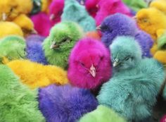 This was our Class Science Project...To Incubate Eggs and Inject With a Shot Of Non-Toxic Colors...