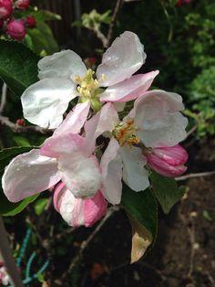 April apple blossom