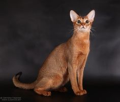 Abyssinian #cats #pets