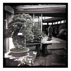 Near Milian ITALIE    See more here :   http://feel-spirit-bonsai.blogspot.fr/search?q=crespi      Feel-Spirit-l'Esprit de Phil.[Bonsaï]: Résultats de recherche pour crespi