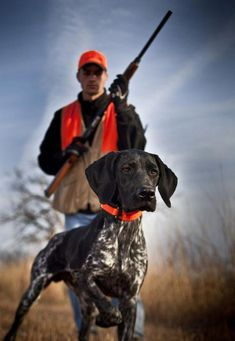 The German Shorthaired Pointer (GSP) was bred at the turn of the nineteenth century in Germany with the end goal of hunting. Gsp Puppies, Pointer Puppies, Pointer Dog, German Shorthaired Pointer, Hunting Dogs, Family Dogs, Working Dogs, I Love Dogs, Best Dogs