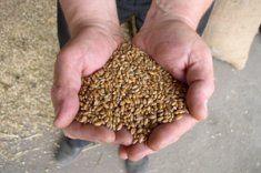Hallazgo de trigo mutado en EEUU estremece los mercados agrícolas mundiales