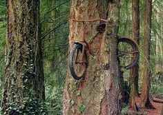 Bicycle in tree (Vashon, Washington)