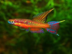 Live Tropical Freshwater Fish - Find incredible deals on Live Tropical Freshwater Fish and Live Tropical Freshwater Fish accessories. Let us show you how to save money on Live Tropical Freshwater Fish NOW! Tropical Freshwater Fish, Tropical Fish Aquarium, Nano Aquarium, Freshwater Aquarium Fish, Saltwater Aquarium, Fish Ocean, Rainbow Fish, Aquascaping, Salt Water Fish