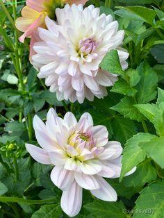 Show Me Your Face, Humble Heart, Dahlia Flower, Belleza Natural, Dahlias, Mother Nature, Colorful, Plants, Beautiful