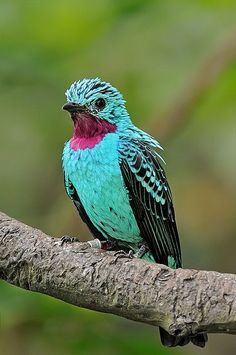 What a color! ~ The Spangled Cotinga (Cotinga cayana) is a species of bird in the Cotingidae family, the cotingas. It is found in the canopy of the Amazon Rainforest in South America.