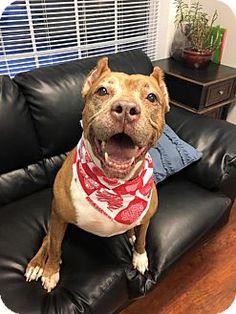 Oak Ridge, NJ - Pit Bull Terrier Mix. Meet Margory, a dog for adoption. http://www.adoptapet.com/pet/15044374-oak-ridge-new-jersey-pit-bull-terrier-mix