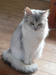 Blue Silver Somali Cats | Back > Gallery For > Silver Somali Cat