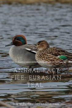 The Eurasian teal is the smallest dabbling duck that winters in the UK. Find out more facts about the bird in our latest fact file. Animal Fact File, Animal Facts, Brown Bodies, Duck Species, Duck Breeds, Game Birds, Small Birds, Head And Neck