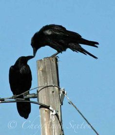 New Mexico kissin' crows Valentine love birds by newmexicomtngirl