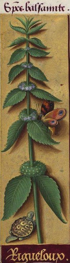 Rigueloux - Species balsamite (Probablement la Mentha citrata Ehrb. Menthe citronnée, cultivée)-- Grandes Heures d'Anne de Bretagne, BNF, Ms Latin 9474, 1503-1508, f°143v