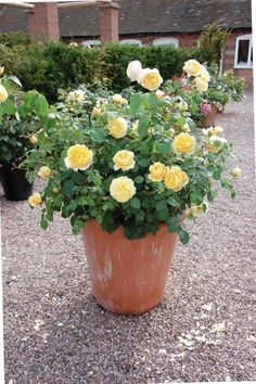 Yellow Roses In The Terracotta Pot