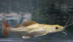 New Addition - Platinum Red Tail Cat - Red Tail Catfish, Monster Fishing, Exotic Fish, Gone Fishing, Freshwater Fish, Mammals, Fresh Water, Underwater, Pets