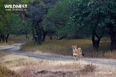 Explore Wildlife of India with Wildnest Gir Forest, Asiatic Lion, Lion Book, Wildlife Of India, History Of India, Travel Photography, National Parks, Tours, Explore