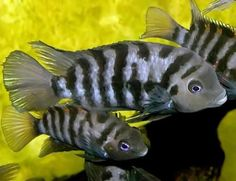 Convict Cichlids, perhaps the easiest cichlid to breed.