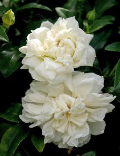 Hybrid Banksia Rose: Rosa 'Fortuniana' (U.K., c. 1840)